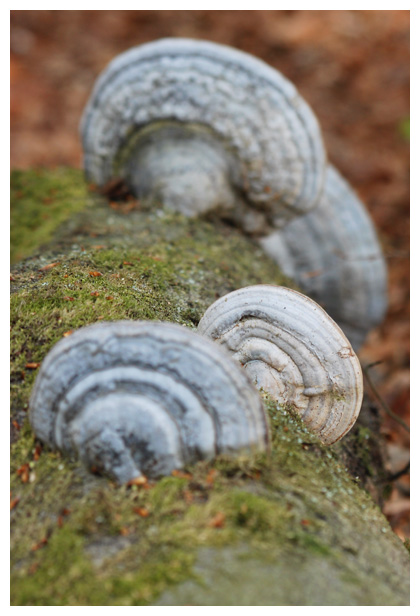 foto´s Echte tonderzwam (Fomes fomentarius), paddenstoel