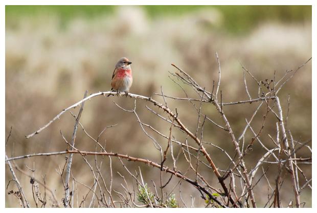 foto's, foto´s, Kneu (Carduelis cannabina), vogel