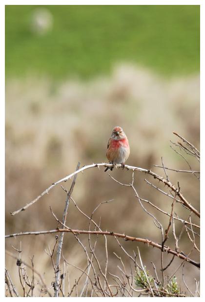 foto's, Kneu (Carduelis cannabina), vogel
