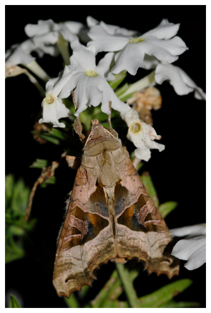 foto´s, Agaatvlinder (Phlogophora meticulosa), nachtvlinder