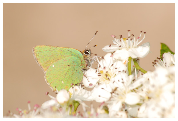 foto's, Groentje (Callophrys rubi), vlinder