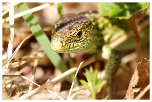 foto's, Zandhagedis of duinhagedis (Lacerta agilis)