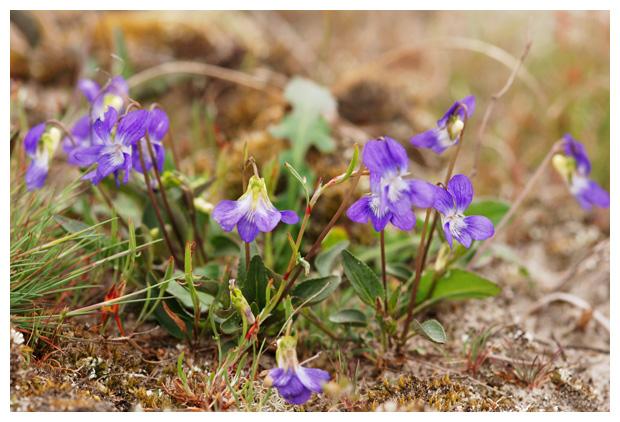 foto's Hondsviooltje (Viola canina), viooltje