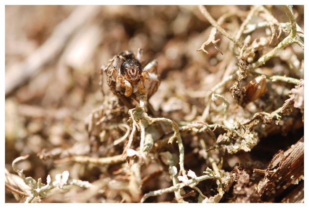 foto's, V-vlekspringspin (Aelurillus v-insignitus), spin