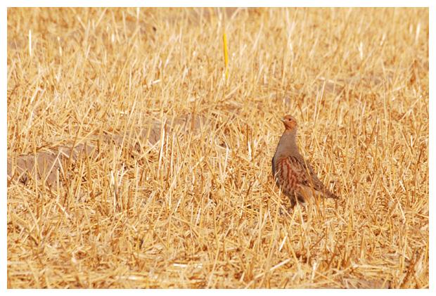 foto's, Patrijs (Perdix perdix), vogel