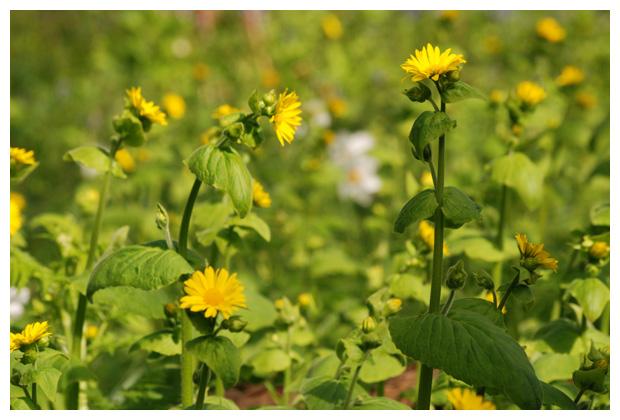 foto's, Hartbladzonnebloem of Voorjaarszonnebloem (Doronicum pardalianches)