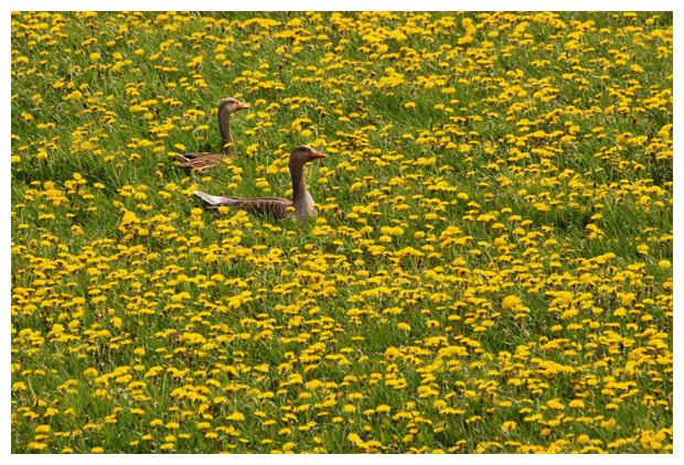 foto's, Grauwe gans (Anser anser)