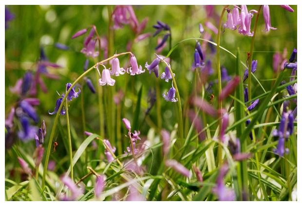 foto's, Wilde hyacint of Boshyacint (Hyacinthoides non-scripta, synoniem scilla non-scripta), bolgewas