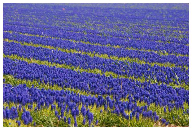 foto's, Blauwe druifjes (Muscari botryoides)