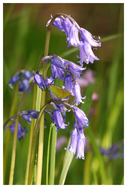 foto's, Wilde hyacint, Boshyacint (Hyacinthoides non-scripta)
