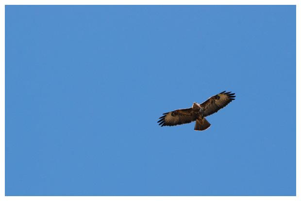 foto's, Buizerd (Buteo buteo), vogel