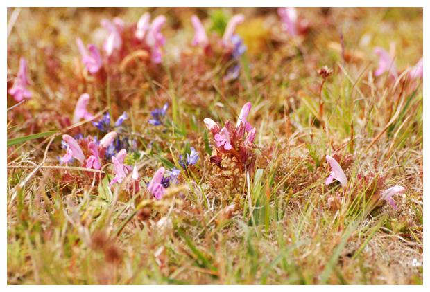foto´s, Heidekartelblad (Pedicularis sylvatica)
