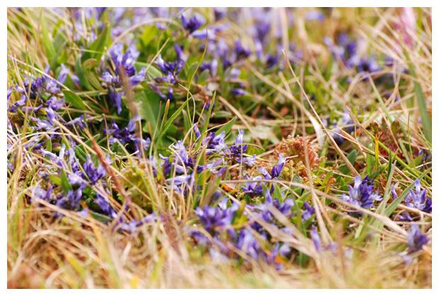foto's, Gewone vleugeltjesbloem (Polygala vulgaris), plant