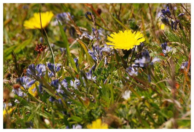 foto's, Gewone vleugeltjesbloem (Polygala vulgaris)