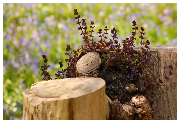 foto's, Hondsdraf (Glechoma hederacea), plant