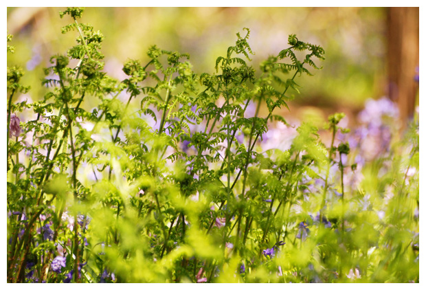 foto's, Brede stekelvaren (Dryopteris expansa), plant