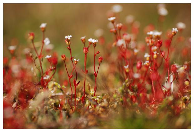 foto's, Kandelaartje (Saxifraga tridactylites), duinplant