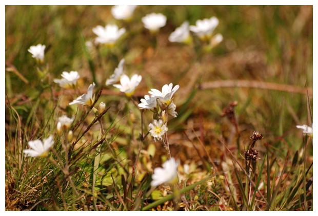 foto's, Akkerhoornbloem (Cerastium arvense), plant duinen