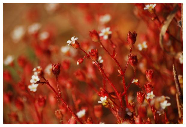 foto's, Kandelaartje (Saxifraga tridactylites), plant