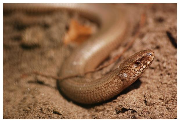 foto's, Hazelworm (Anguis fragilis), hagedis