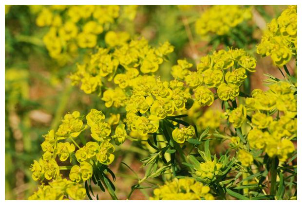 foto's, Cipreswolfsmelk (Euphorbia cyparissias), plant
