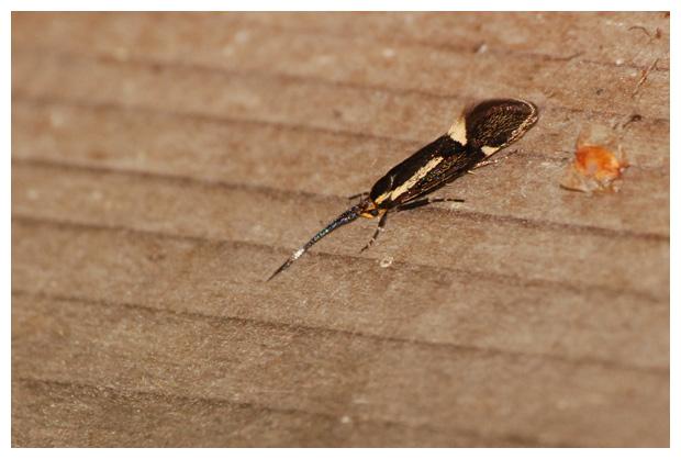 foto's, Esperiamot (Esperia sulphurella), nachtvlinder, vlinder