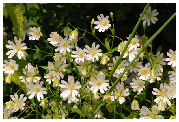 foto's, Grote muur (Stellaria holostea), plant