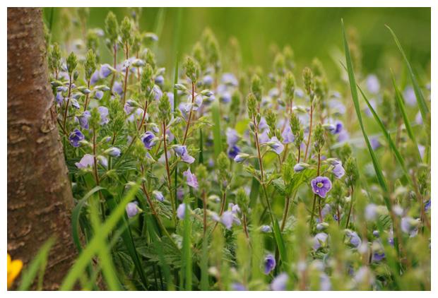 foto's, Gewone ereprijs of Gamander-ereprijs (Veronica chamaedrys), plant