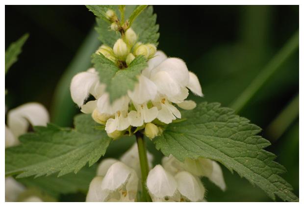 foto´s, Witte dovenetel (Lamium album), plant