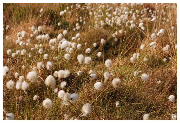 foto's, Eenarig wollegras (Eriophorum vaginatum), witte pluisjes