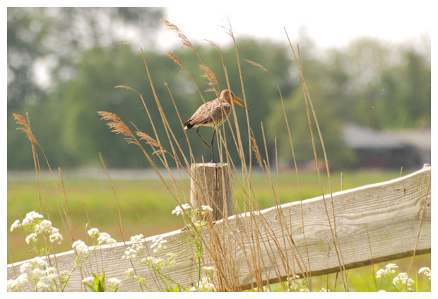 foto´s, Grutto (Limosa limosa), vogel