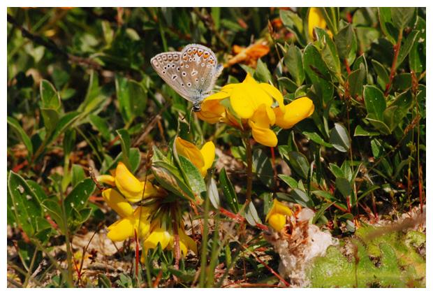 foto's, Gewone rolklaver (Lotus corniculatus var. corniculatus), plant