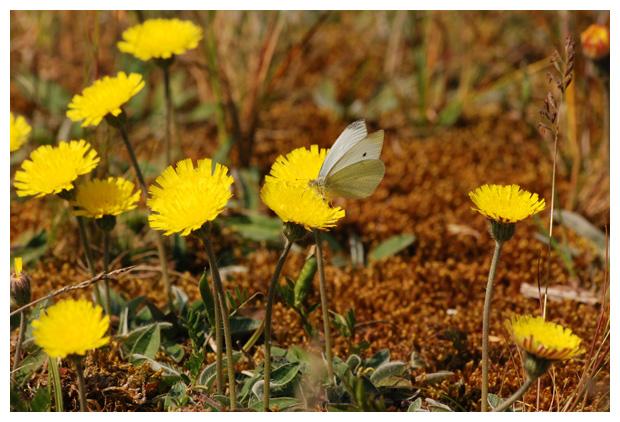 foto's, Muizenoor (Hieracium pilosella, synoniem: Pilosella officinarum), plant