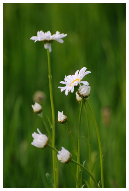 foto's, Gewone margriet (Leucanthemum vulgare), plant