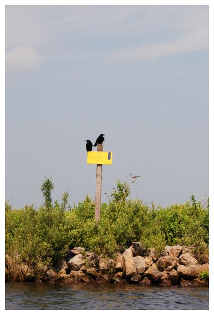 foto's Zwarte kraai (Corvus corone), vogel