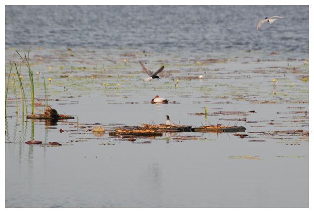 foto's, Zwarte stern (Chlidonias niger), meeuw