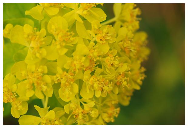 foto's, Moeraswolfsmelk (Euphorbia palustris), plant