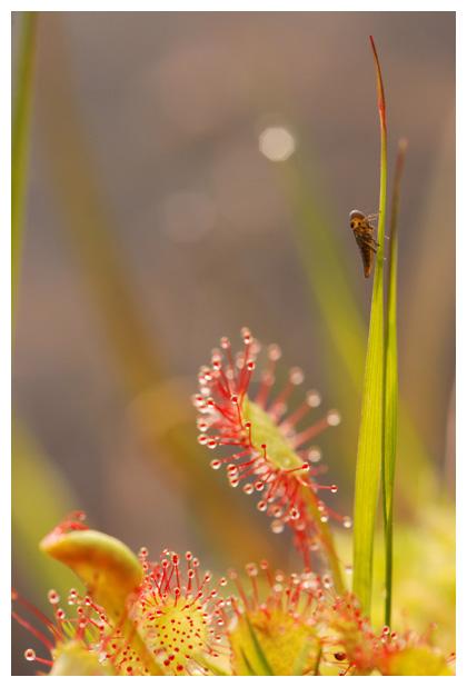 foto's, Ronde zonnedauw (Drosera rotundifolia), vleesetende plant