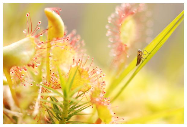 foto´s, Groene rietcicade (Cicadella viridis), cicade