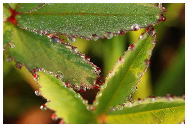 foto's, Wateraardbei (Potentilla palustris), plant