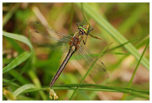 foto's, Smaragdlibel (Cordulia aenea), libel