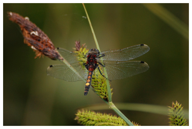 foto's, Gevlekte witsnuitlibel (Leucorrhinia pectoralis),libel