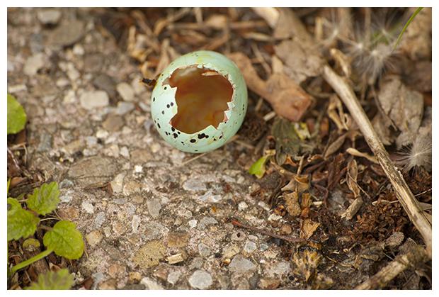 foto's, Zanglijster (Turdus philomelos), vogel