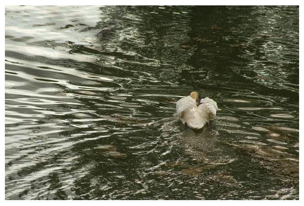 foto's, Knobbelzwaan (Cygnus olor), zwaan