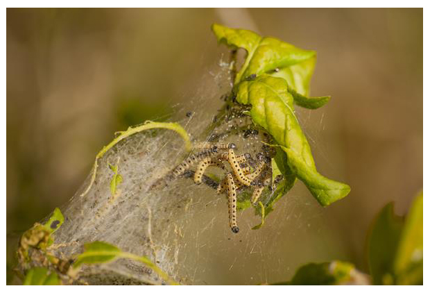 foto's, Kardinaalsmutsstippelmot (Yponomeuta cagnagella), rups op kardinaalsmuts, nachtvlinder