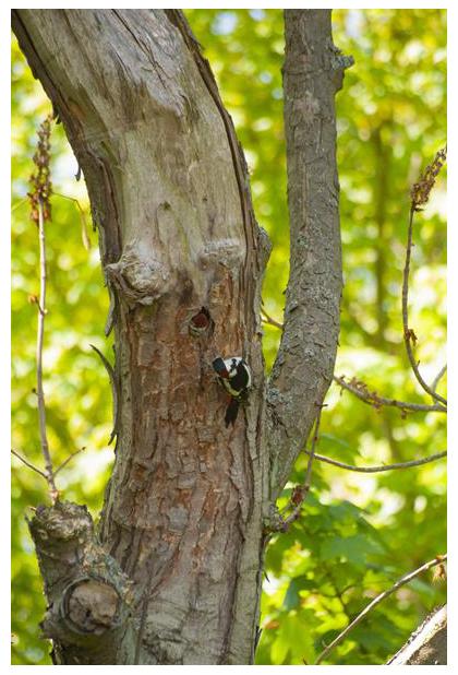foto's, Grote bonte specht (Dendrocopos major), vogel