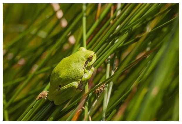 foto's, Boomkikker of Europese (Hyla arborea), amfibie