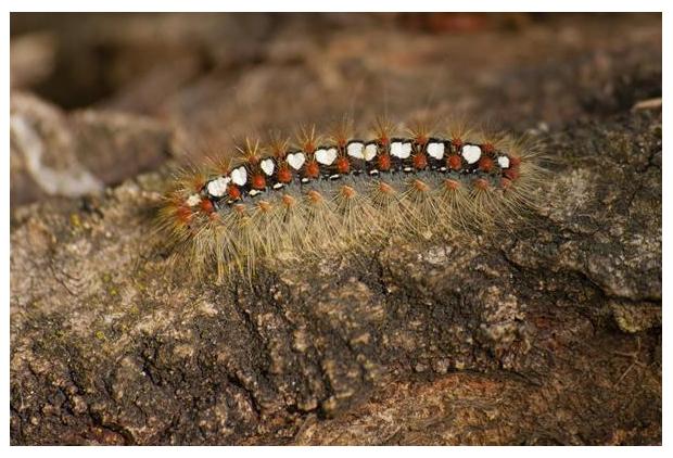 foto's, Satijnvlinder (Leucoma salicis), rups