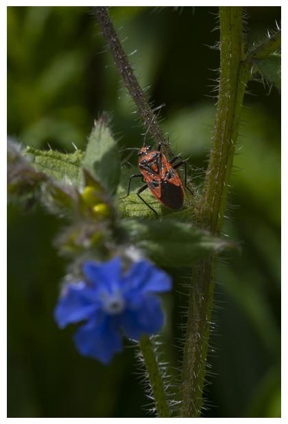 foto's, Overblijvende ossentong (Pentaglottis sempervirens), plant