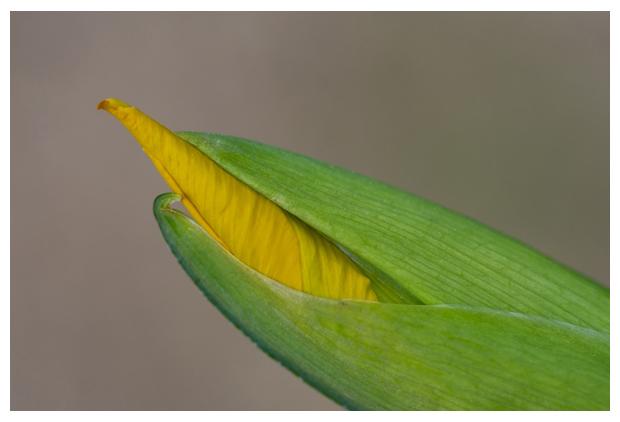 foto´s, zaden, Gele lis (Iris pseudacorus), oeverplant
